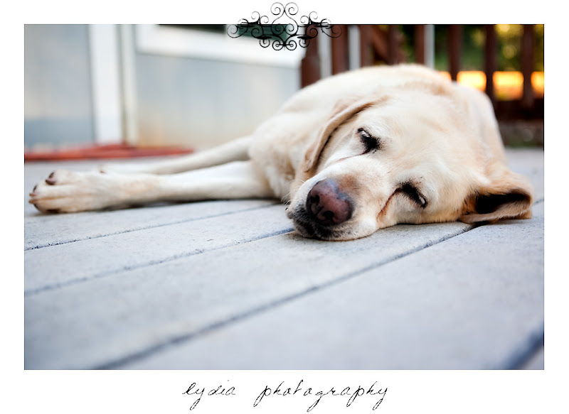 Picture of a yellow Labrador Retriever dog puppy sleeping on the porch