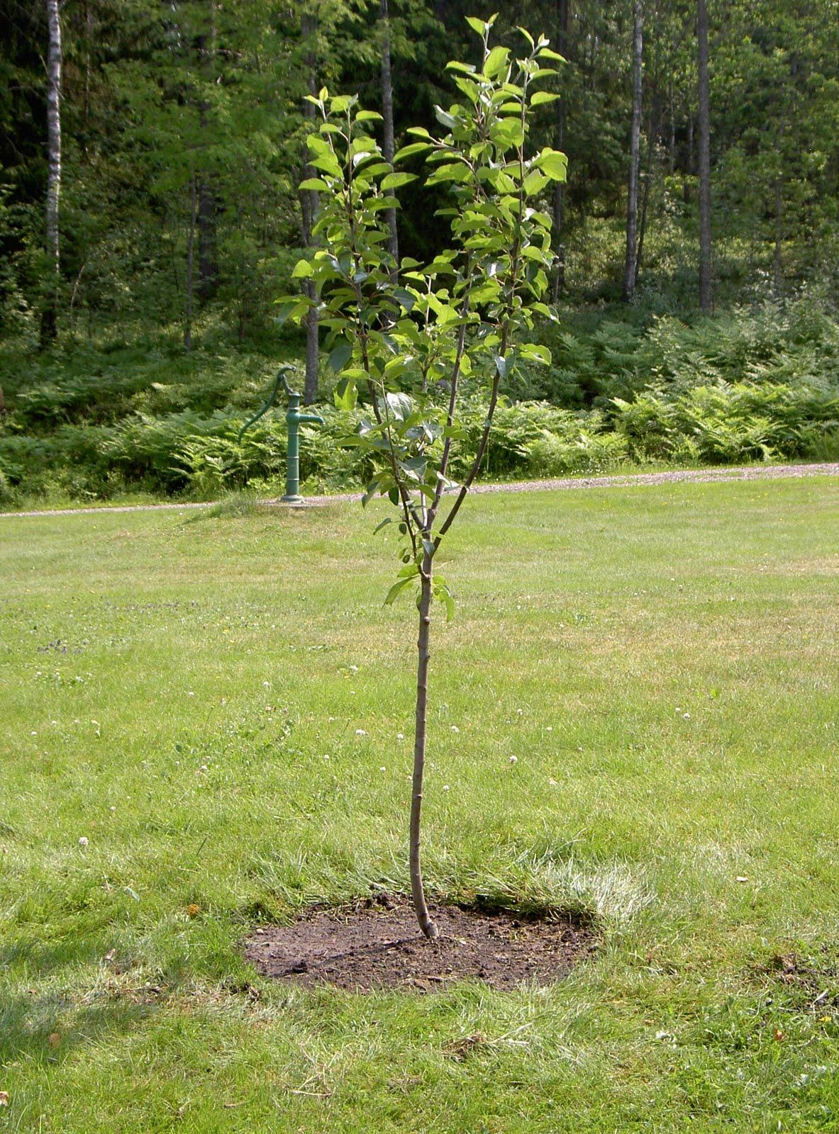 Klimatpilot Plantera ett träd