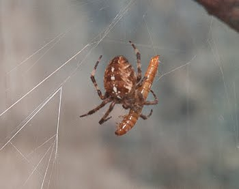 Seattle Pest Control and Home Services: What spiders are venomous ...