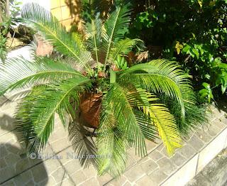 Jardim-Palmeira-sagu, cycas cincinalis, jardim
