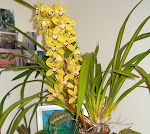 em flor na varanda...cymbidium