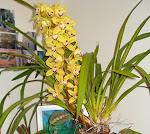 em flor na varanda...cymbidium