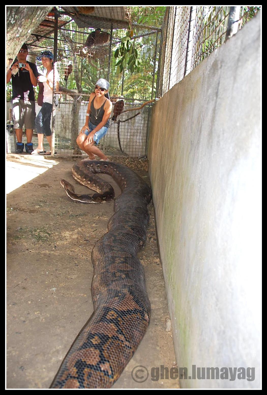 Anaconda VS Crocodilo do nilo DSC_0385copy