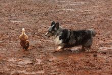 Corgi Champ, BB, Herding Duck (RIP)