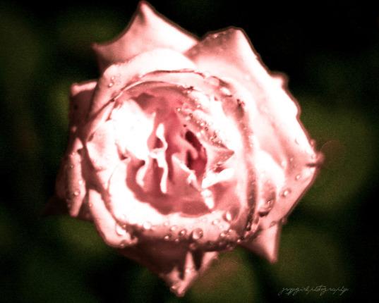 [was+white+rose+online.jpg]