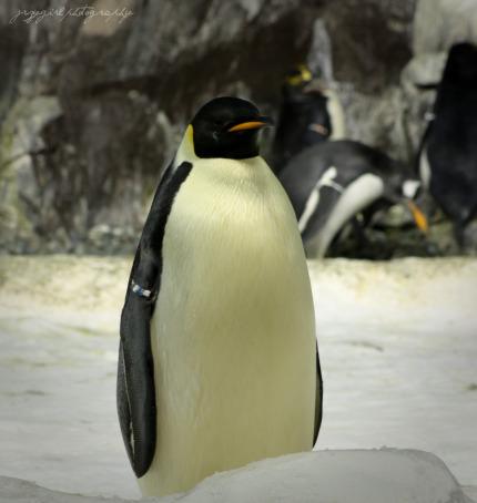 [lone+penguin+online.jpg]