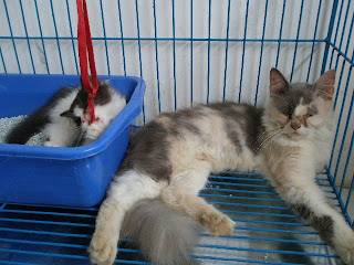 Dijual Anak Kucing Persia