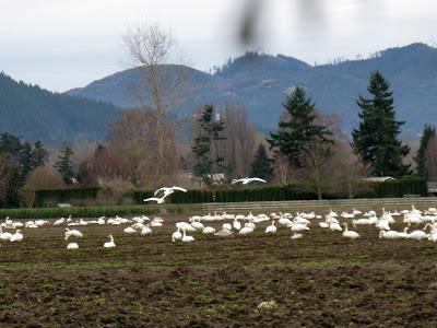 trumpeter swan flying. Trumpeter Swans of the Skagit