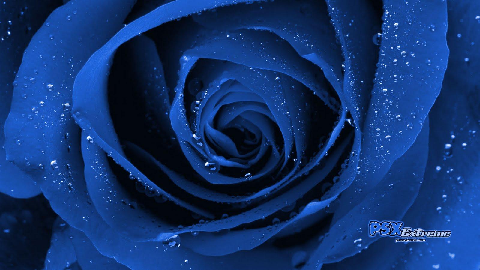 http://4.bp.blogspot.com/_NR-pTkG6FHE/S88Ar0pDiFI/AAAAAAAAASw/K2JMB5mKkck/s1600/blue_rose_01.jpg