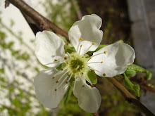 Plommetre blomst 25 april.