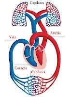 [sistema-circulatorio-1.jpg]