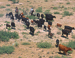 roundup cattle