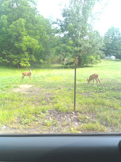 Deer in out in the open
