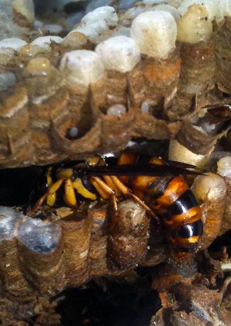 ALL Florida Recent Bee Removals: Daytona Beach Yellow Jacket Nest ...