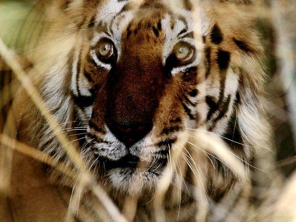 http://4.bp.blogspot.com/_NYttquK93yM/TQBTHFwWheI/AAAAAAAAAvY/ana1sEX4XsE/s1600/bengal-tiger-face_6445_600x450.jpg