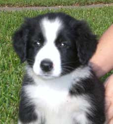English Shepherd Puppies Pictures