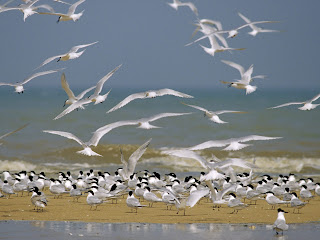 Flying Birds Seagulls