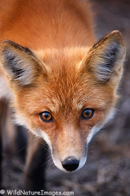 .::Vulpini::. Red-fox-photo