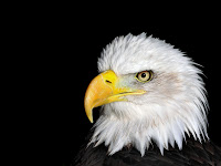 Bald Eagle Background