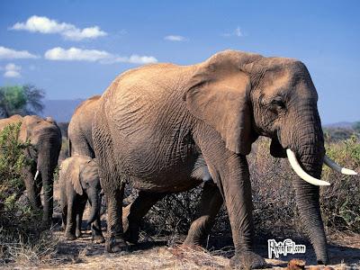 African Baby Elephant Image
