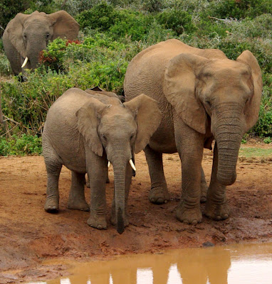 African Baby Elephant Gallery Image