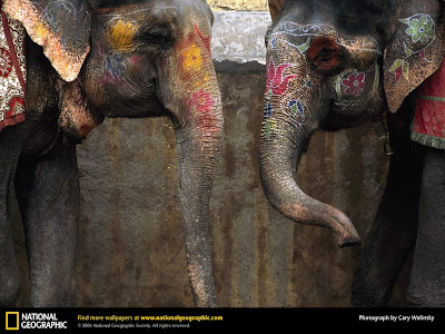 Two Asian Elephants Photo