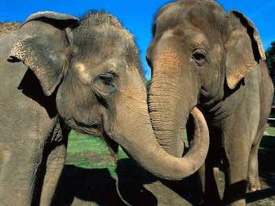 Two Asian Elephants Video Wallpaper