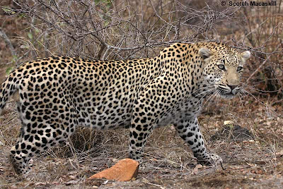 Cheetahs Hunting Video Pictures and Pics