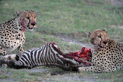 Cheetahs Hunting Video Picture
