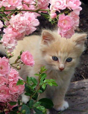 kitten cats - Rose Pins Photo