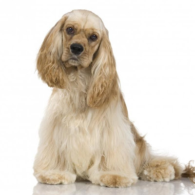 Cocker spaniel Dog Picture