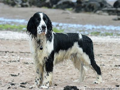 English Springer Spaniel Dogs Picture