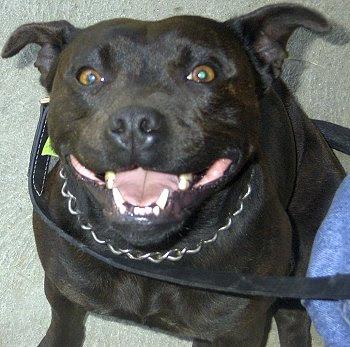 Staffordshire Bull Terrier Puppy Pics