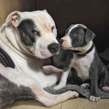 Staffordshire Bull Terrier Dogs Pictures
