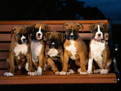 Boxer Puppies Cute Video Pics