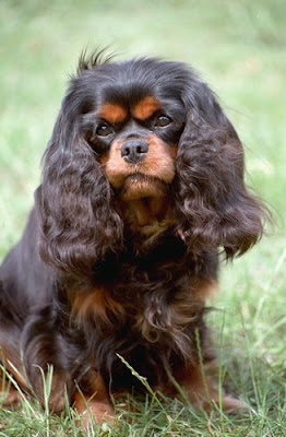 Cavalier King Charles Spaniel Breed Dogs Photo