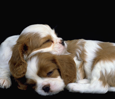 Cavalier King Charles Spaniel 02 Puppys Pics