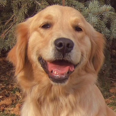 Golden Retriever Dogs Cute Photo
