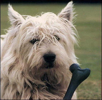 West Highland White Terrier Cute Dogs Pics