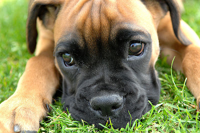 Boxer Puppy Dogs Pictures - Pics
