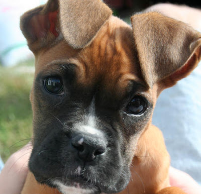 Dogs Breeds - Boxer Puppy Gallery Photo