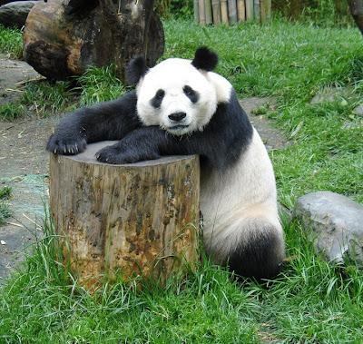 Panda - Photo