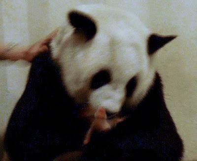 Panda - New Born Panda Cub
