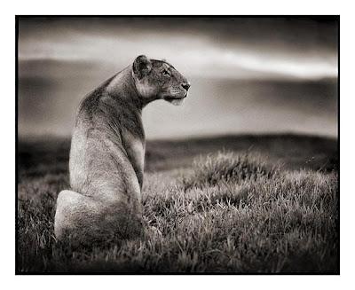 Lion Pics
