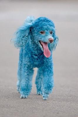 Funny Dog Blue poodle Pics