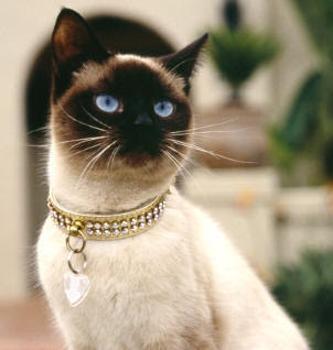 Cats - Siamese Cat Gallery Picture