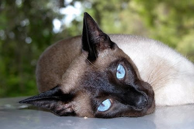 Siamese affectionate and intelligent cats