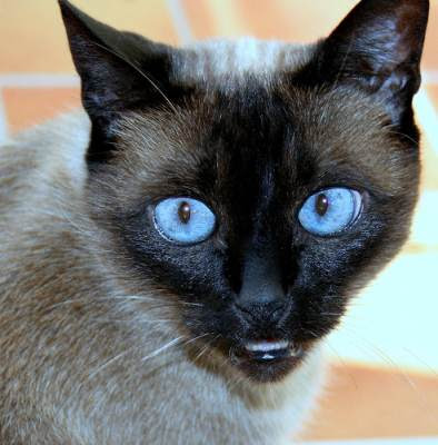 siamese Breed - siamese Cat