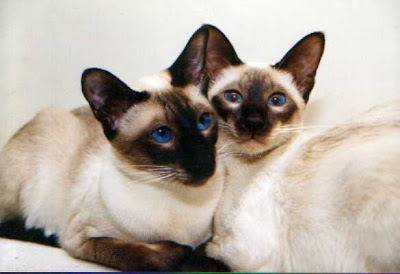 02 siamese Cats Gallery Picture