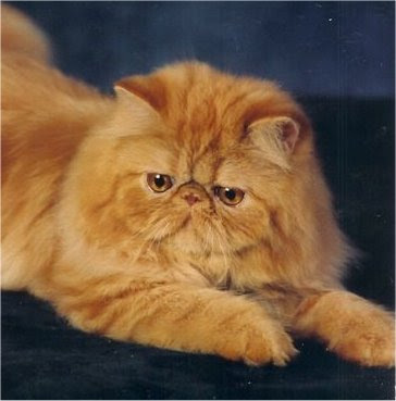 Red persian cats Pics